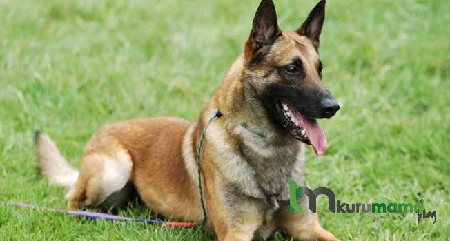 Belçika köpeği tarihi ve kökeni