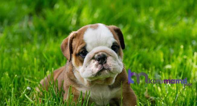 Bulldog Köpekleri Hakkında Bilinmesi Gerekenler