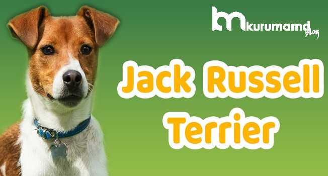 Jack Russell bakımı