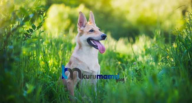 Köpeğe otur komutu nasıl verilir