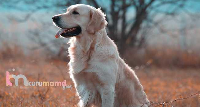Köpek Tüyleri Nasıl Parlatılır