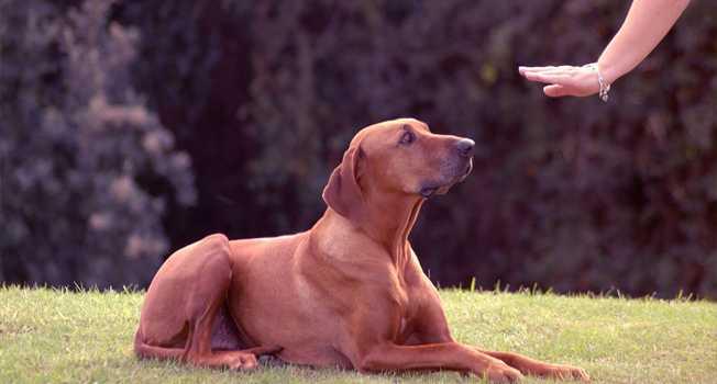 Köpeklerde temel itaat eğitimi