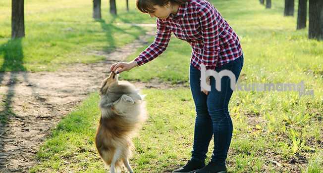 Köpeklere ileri itaat eğitimi ne zaman verilmelidir