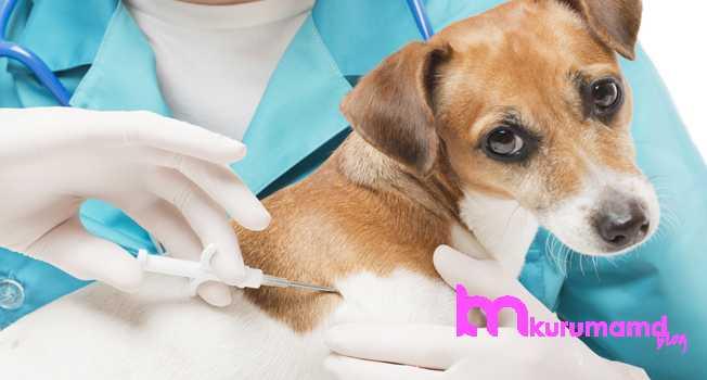Yavru köpek aşısı ne zaman yapılır