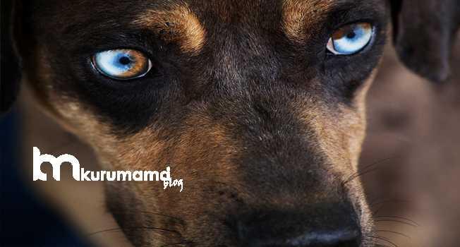 Catahoula Leopar Köpeği Sağlık Sorunları
