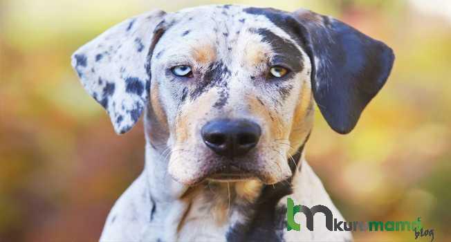 Catahoula Leopar Köpeği Beslenmesi