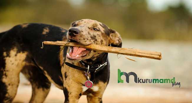 Catahoula Leopar Köpeği Eğitimi