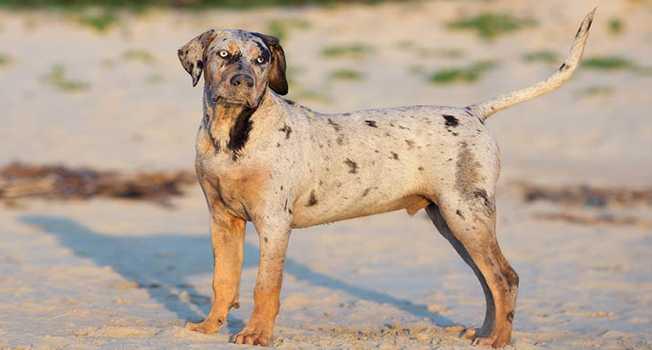 Catahoula Leopar Köpeği Egzersiz İhtiyaçları