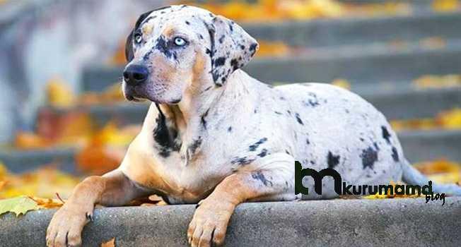 Catahoula Leopar Köpeği Kişiliği