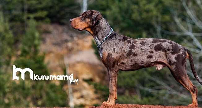 Catahoula Leopar Köpeği Hakkında Bilgiler