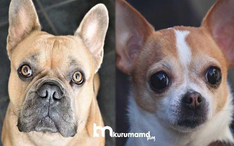 Frenc Bullhuahua Köpeği Bakımı