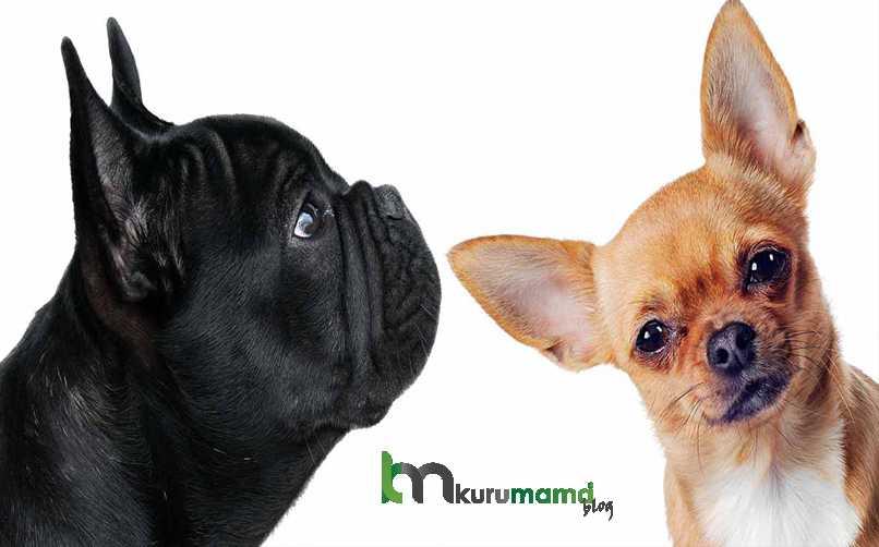 Frenc Bullhuahua Köpeği Hakkında Az Bilinen 3 Gerçek