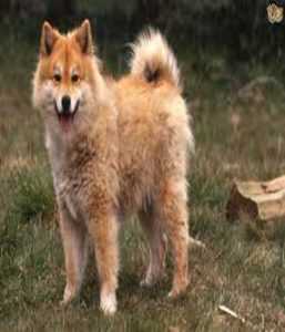 Lapphund Cinsi Köpeğin İtaat Eğitimi