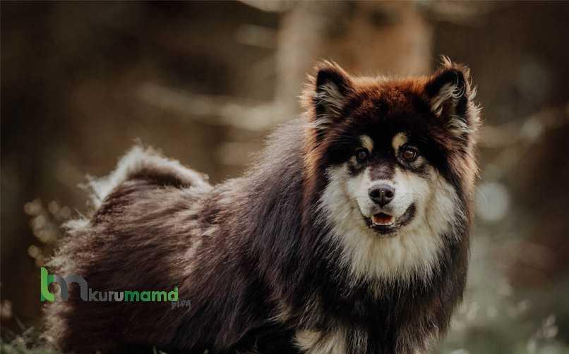 Lapphund Cinsi Köpeğin Karakter Özellikleri