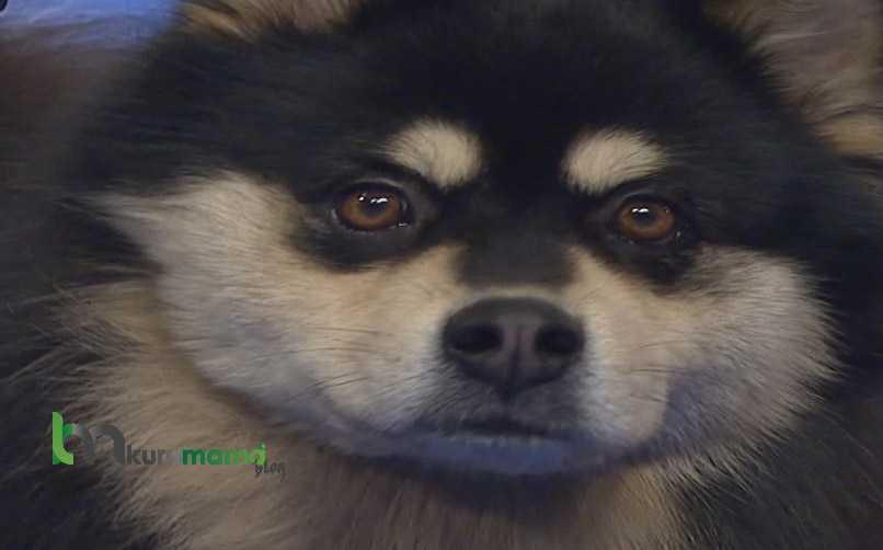 Lapphund Cinsi Köpeğin Evde Eğitimi Nasıl Verilir