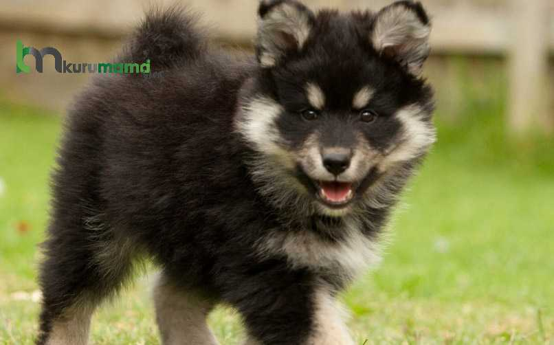 Lapphund Cinsi Köpeğin Tarih ve Kökeni