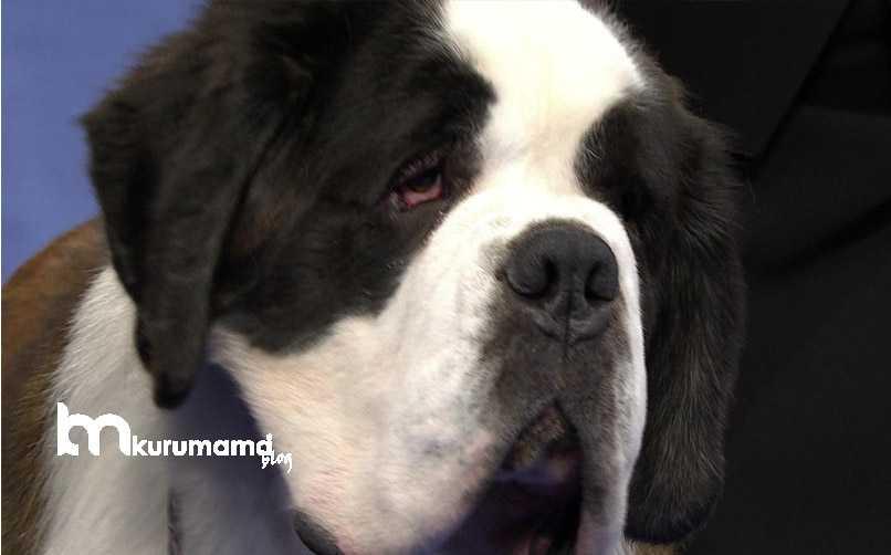 Saint Bernard Köpeği Yaygın Sağlık Sorunları
