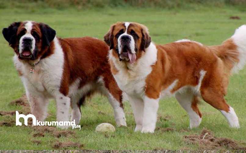 Saint Bernard Köpek Bakımı