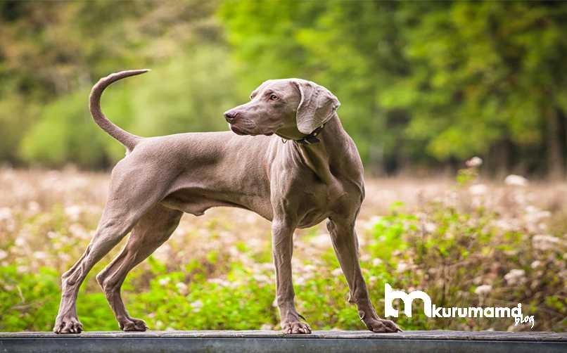 WeimaranerCinsi Köpeğin Sağlık Durumu