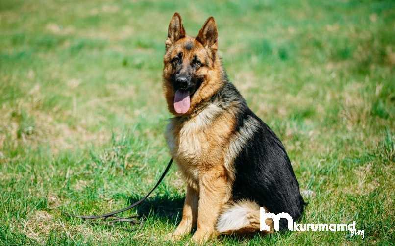 Alman Kurdu Köpeği Kişilik ve Karakter Özelliği