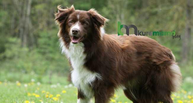 Border collie cinsi köpek özellikleri
