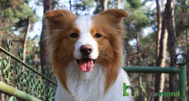 Border Collie Cinsi Köpeğin Sağlığı