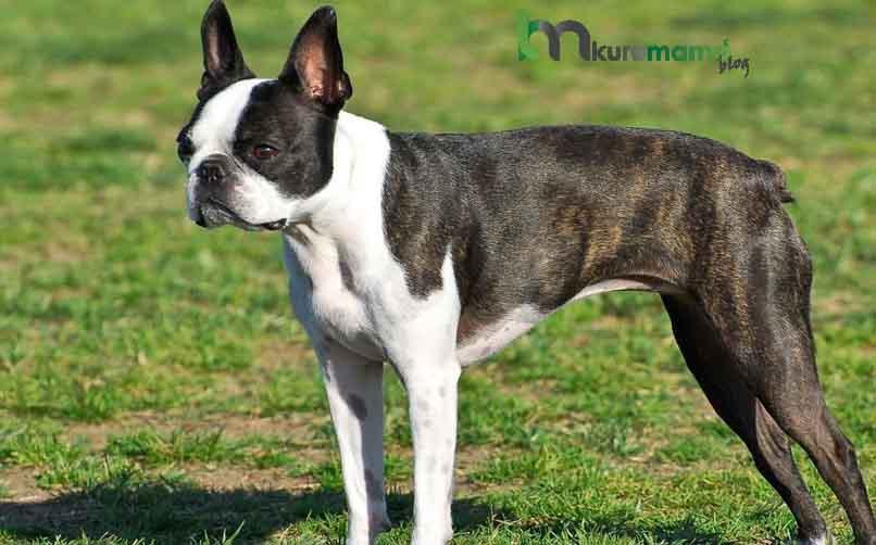 Boston Terrier Köpeğine Nasıl Eğitim Verilir?
