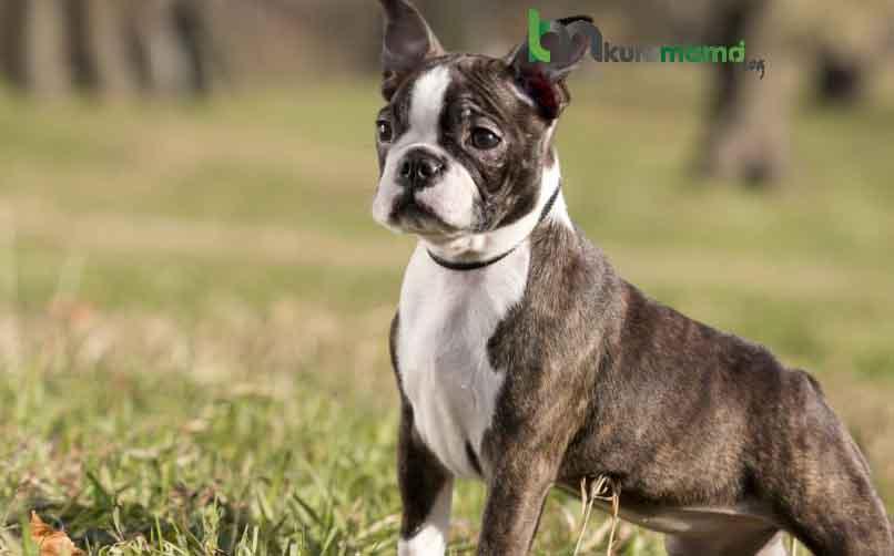 Boston Terrier Bakımı Hakkında Önemli Tavsiyeler