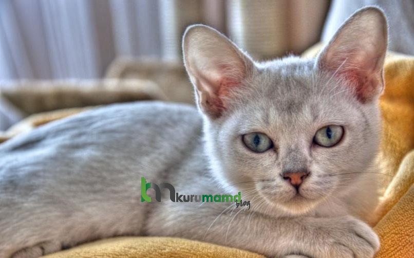 Burmese Kedisinin Fiziksel Özellikleri