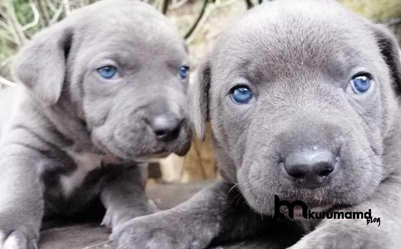 Cane Corso Köpeği İçin Beslenme ve Mama Önerileri