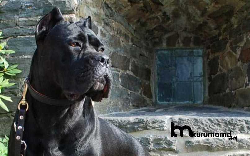 Cane Corso İtaliano Köpeğinde En Sık Görülen 10 Sağlık Sorunu