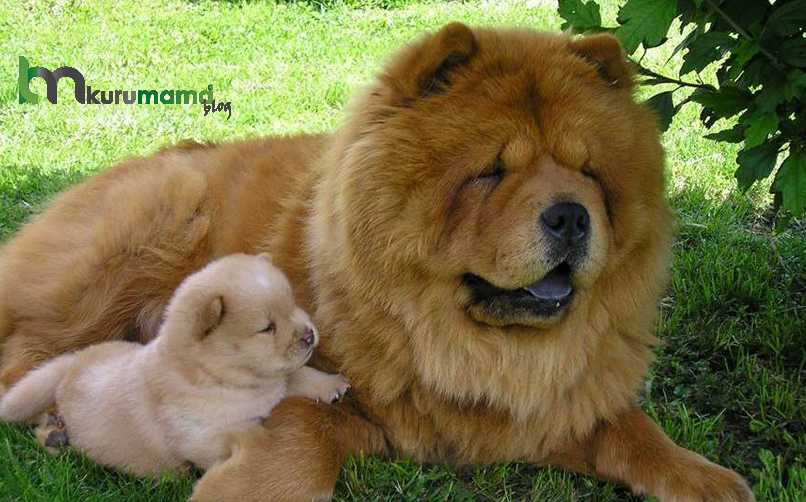 Çin Aslanı Köpeği