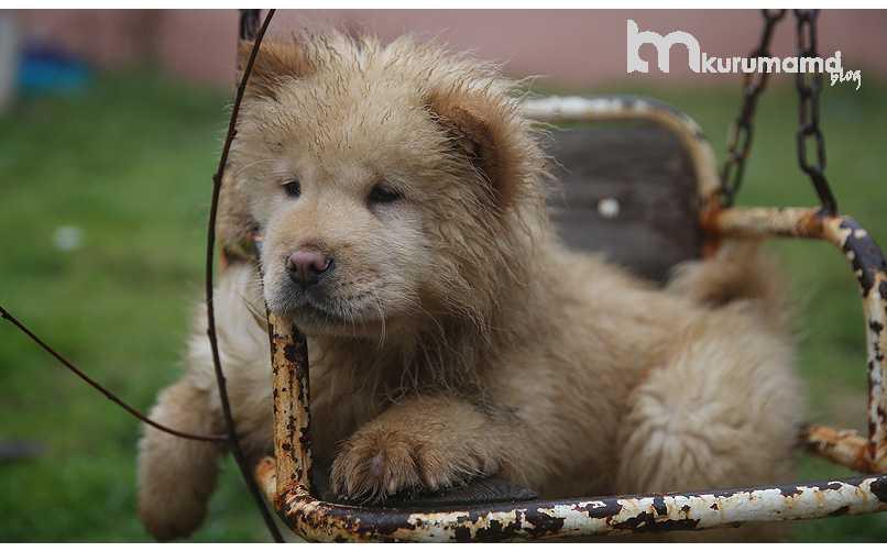 Yavru Çin Aslanı (Chow chow) sağlığı