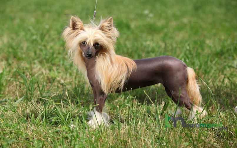 Çin Tepeli (Tüysüz Çin Köpeği) Karakter Özellikleri