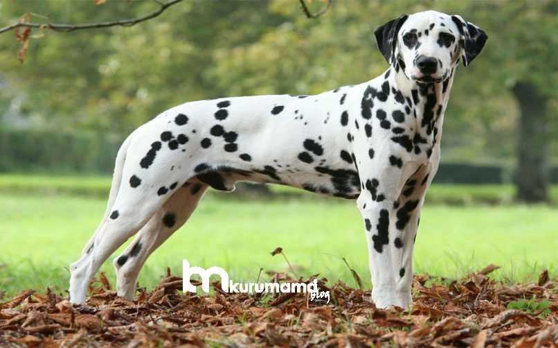 Dalmaçyalı Köpek Sağlık Sorunları