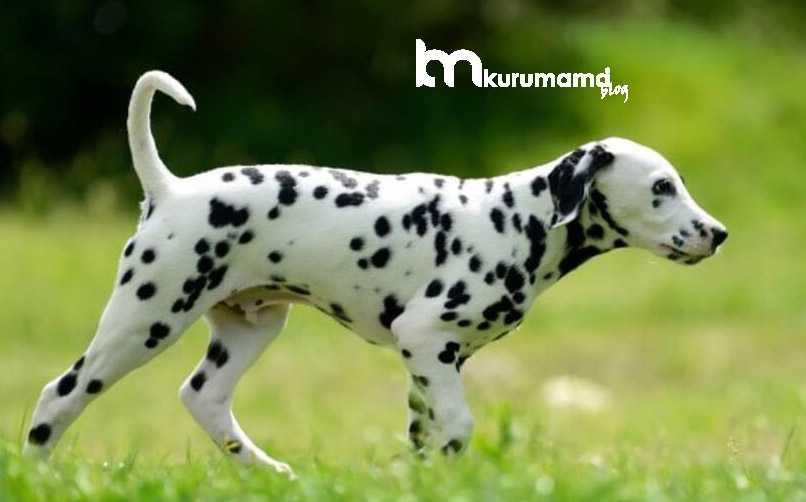 Dalmaçya Köpek Eğitimi Verirken Dikkat Edilmesi Gerekenler