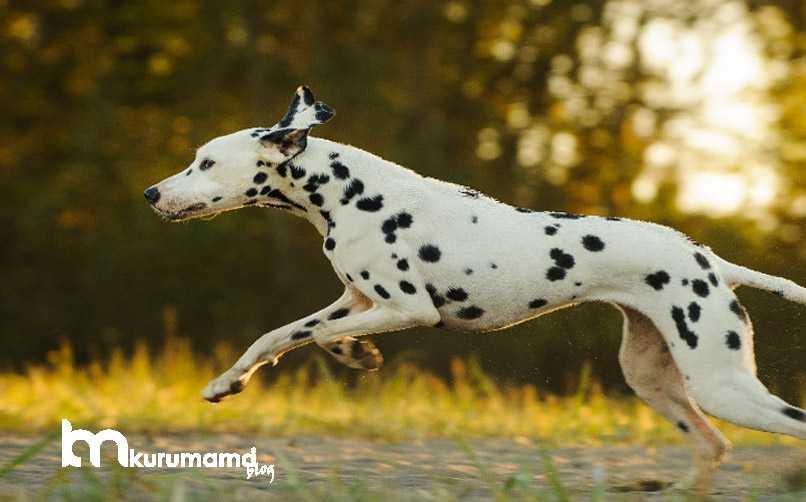 Dalmaçyalı Köpek Genel Özellikleri