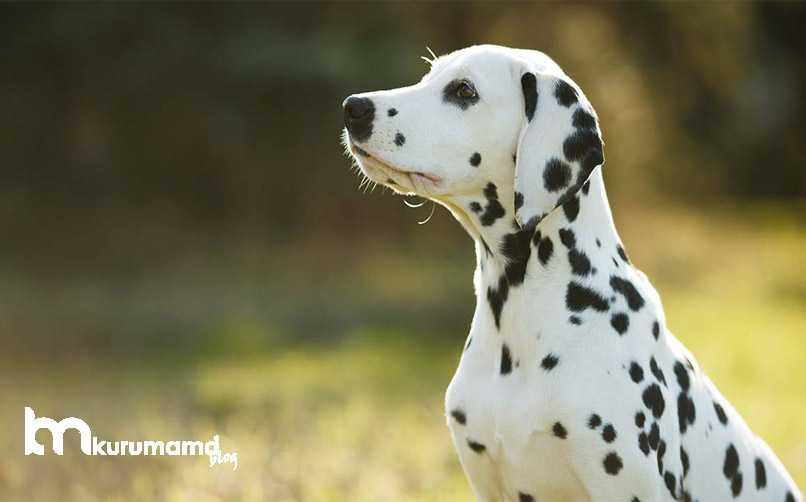Dalmaçyalı Köpek Görünümü