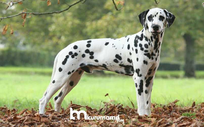 Dalmaçyalı Köpeği Hakkında En Çok Merak Edilenler