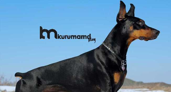 Doberman köpeğinin bakımı