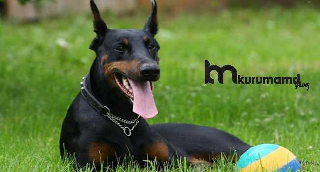 Doberman köpeğinin fiziksel özellikleri