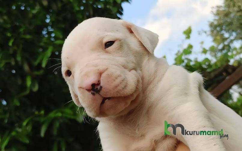 Dogo Argentino Köpeğinin Bakımı Nasıl Yapılır?