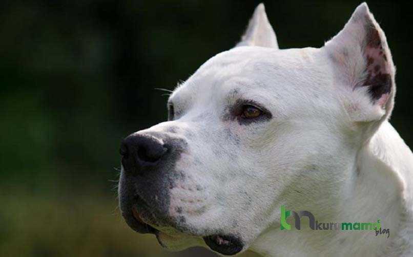 Dogo Argentino Köpeğinin Sağlık Sorunları ve Yatkın Olduğu Hastalıklar