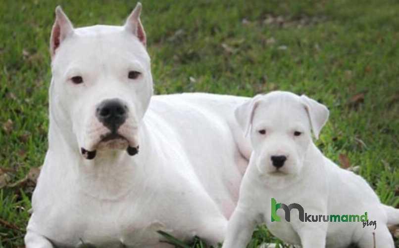Dogo Arjentin (Dogo Argentino) Köpeğinin 15 Özelliği