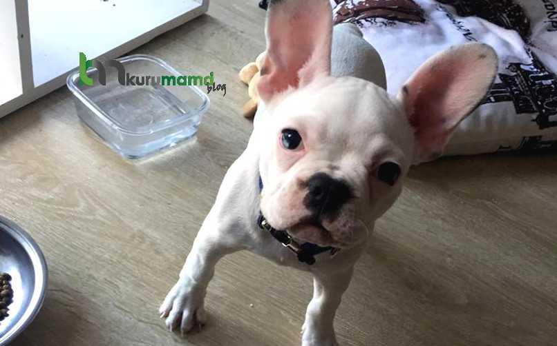 Fransız Bulldog Beslenme Önerileri