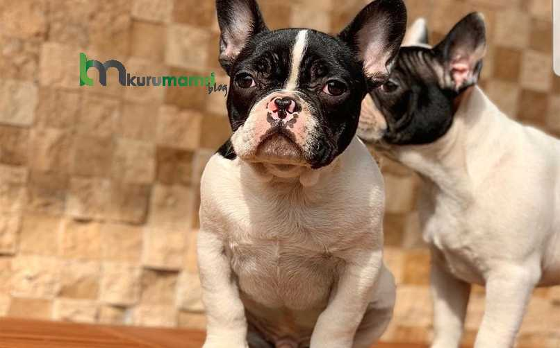 Fransız Bulldog Karakter Özellikleri
