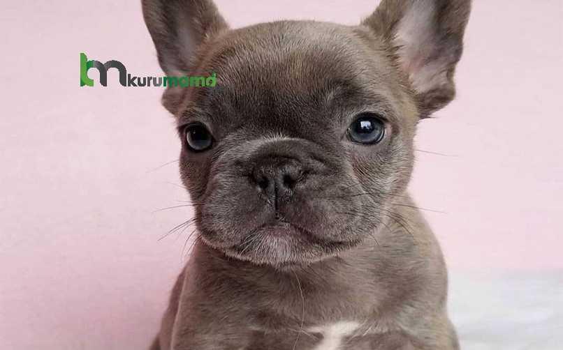 French Bulldog (Fransız Bulldog) Köpeği Nasıl Eğitilir?