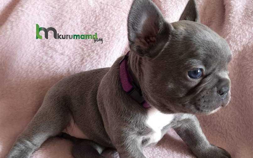 French Bulldog (Fransız Bulldog) Köpeğinin 10 Belirgin Özelliği