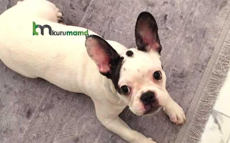 Fransız Bulldog Sağlık Sorunları ve Yatkın Olduğu Hastalıklar