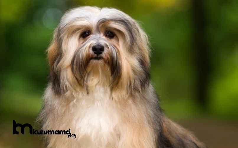 Havanese Cinsi Köpeğin Karakter Özellikleri